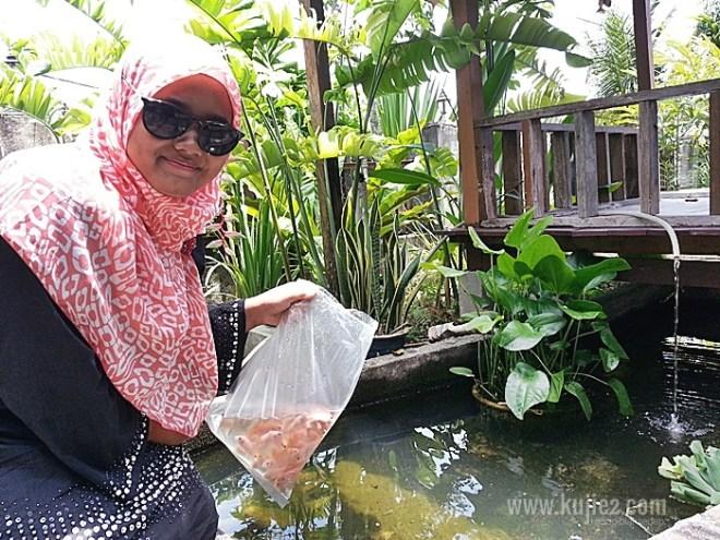 ikan talapiabeli anak ikan talapia