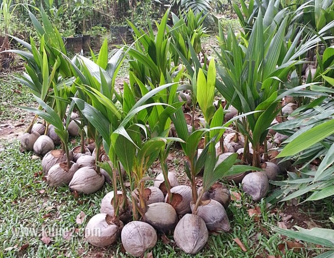 benih kelapa matag