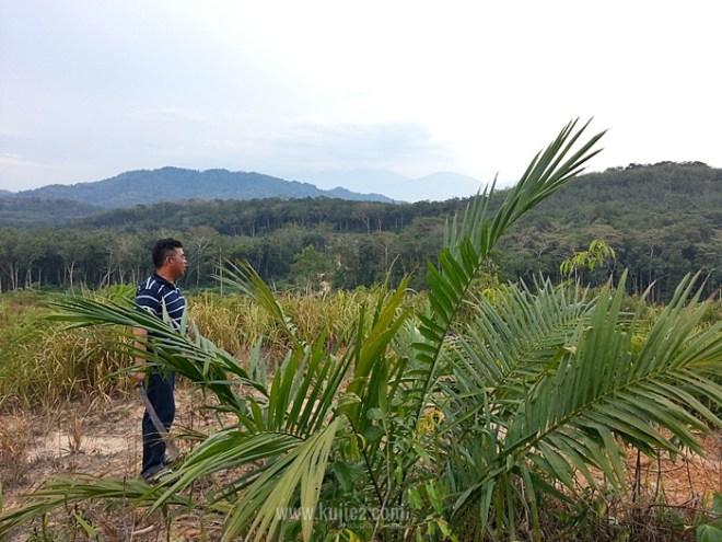 tanam semula kelapa sawit