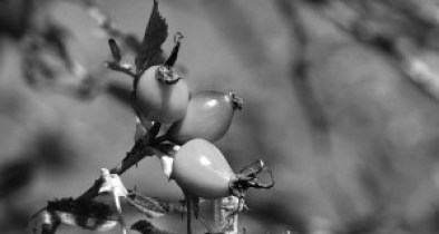 Rosa canina|Fruit