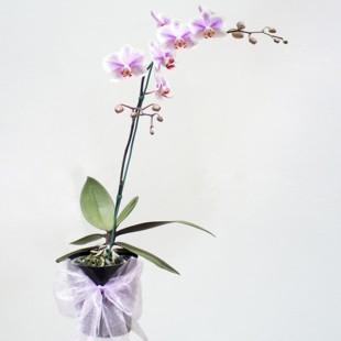 Kukyflor Cuidados De Las Plantas De Orquidea - Cuidados-de-la-orqudea