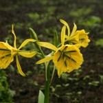 flor-de-amancae-amancay-pachamac-Peru-Lima