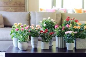 rosas-macetas-decoracion-interior-cuidado-de-plantas
