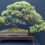 bonsai-arbol-miniatura-bandeja