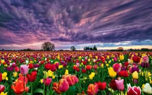 Los campos de flores más espectaculares del mundo