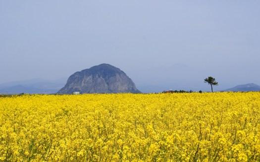 Isla de Jeju: Top 8 de los campos de flores más espectaculares del mundo