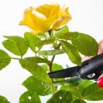 Cómo sembrar y podar rosas