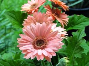 Cultivo y cuidado de las flores gerberas