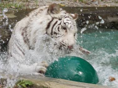 kulaqua retreat and conference center zoowhite tiger playing ball images florida's best christian retreat location kulaqua