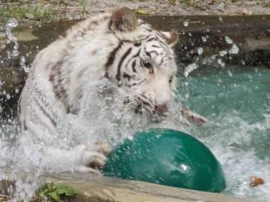 kulaqua-zoo-and-nature-center-white-tiger