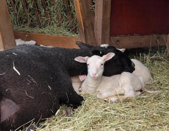 Det är jobbigt att vara trelammsmamma. Marielle tar sig en tupplur med lammen som huvudkudde. Foto: Jörgen.