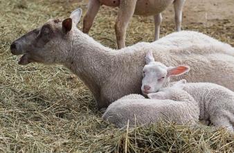 Dockan med sina lamm. Foto: Jörgen.
