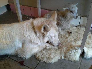 Nemi och Lillan vilar efter maten. April 2014.