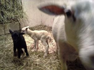 Sonja lammade först i år. Två tacklamm kom 25 februari 2014
