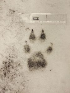 Über diese Spur freut sich der Wolfsforscher. (c) Alexander Petschnig