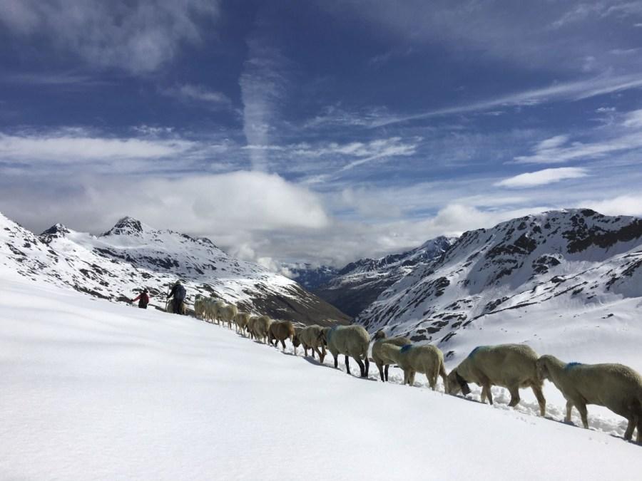 Transhumanz: Schafauftrieb vom Schnalstal über das Niederjoch ins Ötztal