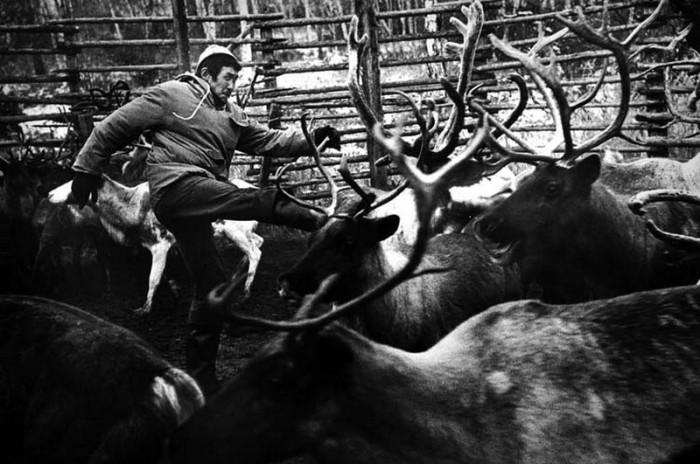 Олени на советском севере - главное сельскохозяйственное животное.