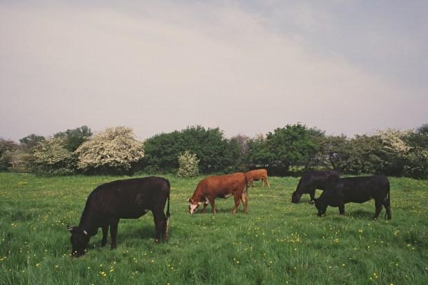 Kyr på beite: kua skal spise gress, ikke soya og palmeolje. Foto: Flickr/Natural England
