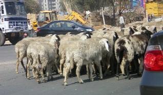gurgaon_sheep.jpg