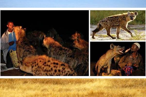 Berteman Dengan Hyena Afrika