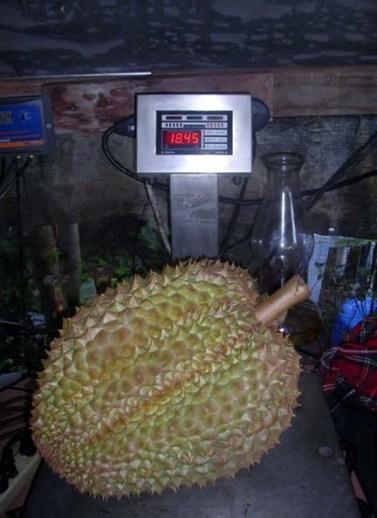 Durian 18.45 lbs.