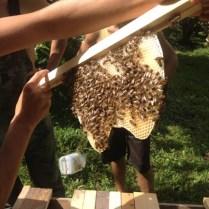 Recent swarm comb