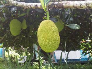 Jackfruit on a tree