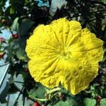maleflower