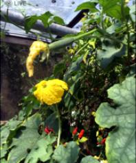 pollenated female fruit