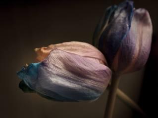 TulpenNr3_klein-1