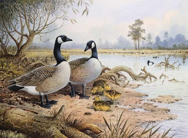 40 geese canada carl donner als kunstdruck oder handgemaltes gemalde