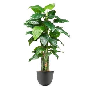 HTT - Kunstplant Philodendron in Eggy antraciet H195 cm - kunstplantshop.nl