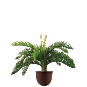 HTT - Kunstplant Cycas in Eggy bruin H70 cm - kunstplantshop.nl