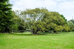 Wide Tree In Cornwall Park