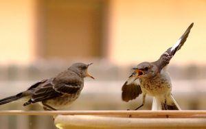 640px-Mocking_Bird_Argument