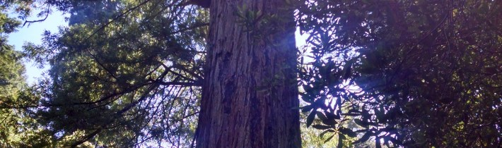 Redwood and Sunlight