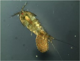 Copepod Evolution