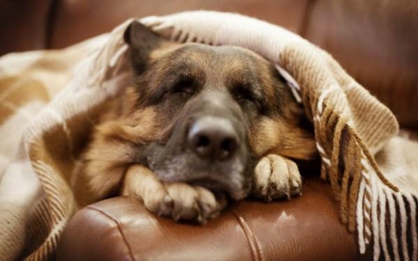 Német juhász kutya - idős korban is édes a pihenés (Fotó: wallbacks.com)