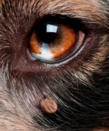 Kullancs a kutya szeme alatt (Fotó: lifewithdogs.tv)