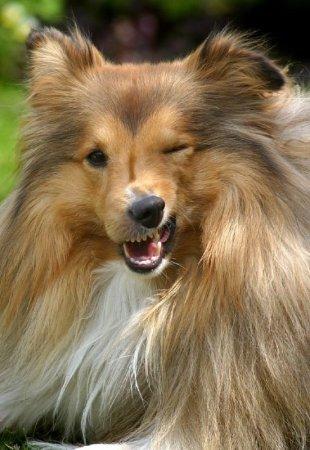 Kutyanátha - Skót juhászkutya tüsszentés közben
