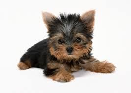 yorkshire terrier kölyök