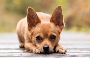 csivava kutya