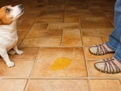 szobatiszta kutya