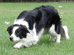 border collie nevek
