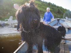 fekete orosz terrier nagy testű kutyák