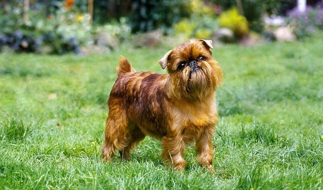 Kistestű kutyák listája - kistestű kutyafajták képekkel