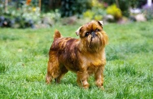brüsszeli griffon - kistestű kutyák