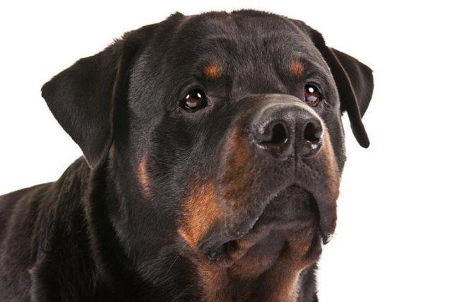 Rottweiler tartása
