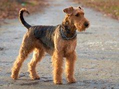 airdale terrier közepes termetű kutyafajták