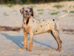 Catahoula-Leopárd-kutya